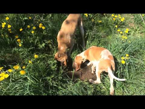 Bambi learning young Nelly Bracco Italiano how to find mice