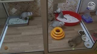 Один день из жизни котят // Питомник шотландских кошек Безухов (Bezuhov)