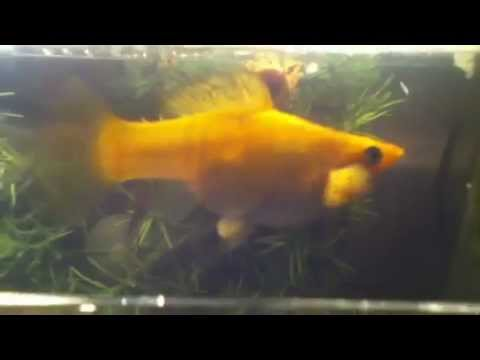 Pregnant molly fish youtube for Fish good for pregnancy