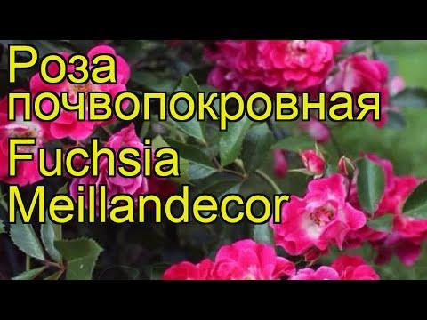 Роза почвопокровная Фуксия Меилландекор. Краткий обзор, описание характеристик Fuchsia Meillandecor
