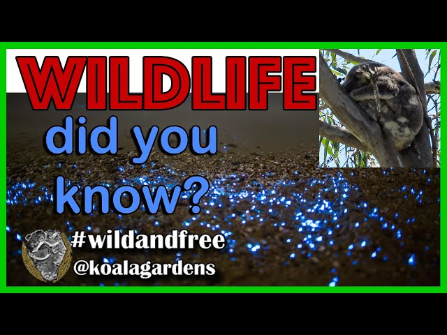 You won't believe this marsupial fact 🐨🤭🤣  Australian wildlife and virtual tours