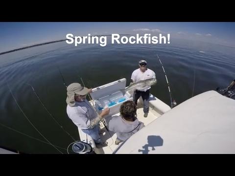 Spring Rockfish 2015 Chesapeake Bay/Lower Potomac River