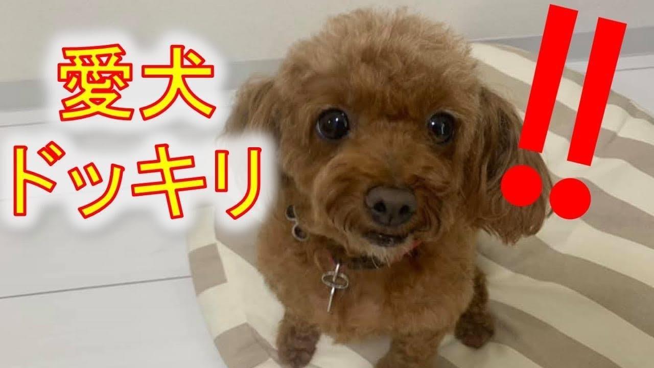 【愛犬(メルちゃん)♡どっきりシリーズ♪】