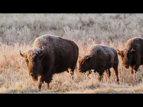 Canada's Bison: Restoring a Legacy