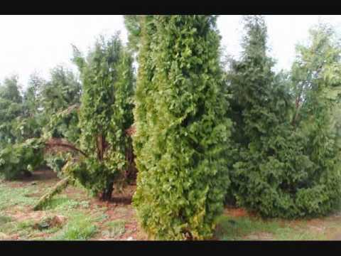 XXX Buy Trees Direct  18910  18901 video