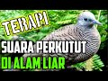 Suara Terapi Perkutut Lokal Di Alam Zebra Dove Bird Call  Mp3 - Mp4 Download