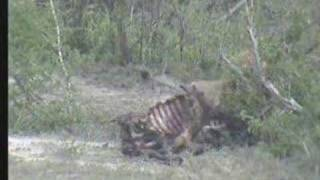 Lion Drags Carcass into the Trees, 12/26/06..
