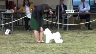 20141103 千葉西セントラル犬友クラブ展 9G牝ビション.