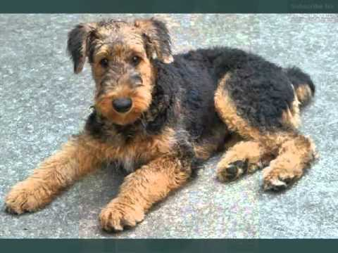 Set Of Cute Dogs Pictures  Puppy Terrier Airedale  YouTube