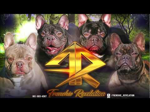 Frenchie Revelation -  MOTION BANNER (French Bulldog Breeders) 2018
