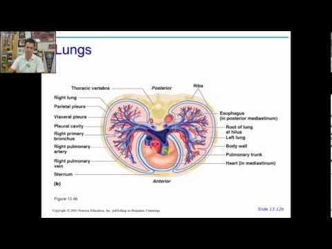 anatomy physiology chapter 19 part 1 - YouTube