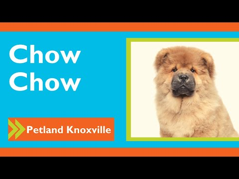 Chow Chow Fun Facts