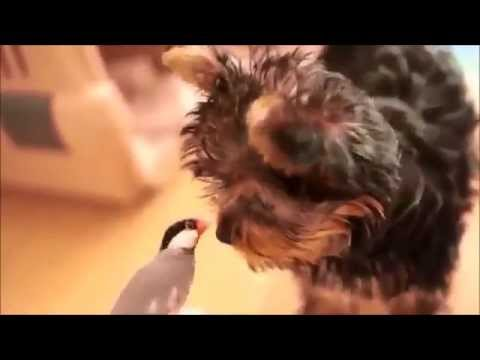 Yorkshire Terrier Find A Feathery Friend!