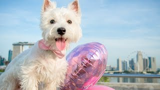1 Yr-old Westie At Marina Barrage - C.s.ling Pet Photography