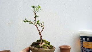Trồng cây nguyệt quế làm bonsai siêu mini