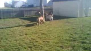 Boxer(petey), Bella(mix), Rambo(bulldog), And Hogan (dogue De Bordeaux)