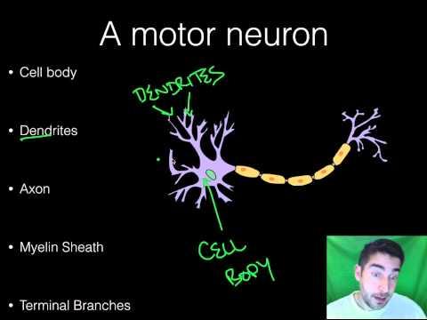 AP Psychology - BioPsych - Part 1 - Neurons