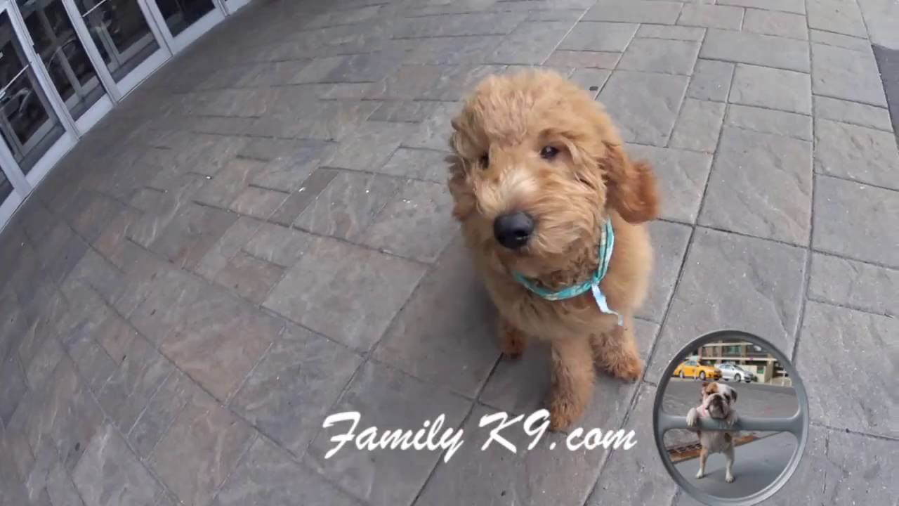 Labradoodle - obedience and therapy dog training - Montreal
