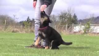 German Shepherd Puppy Obedience Training 8 Weeks Old