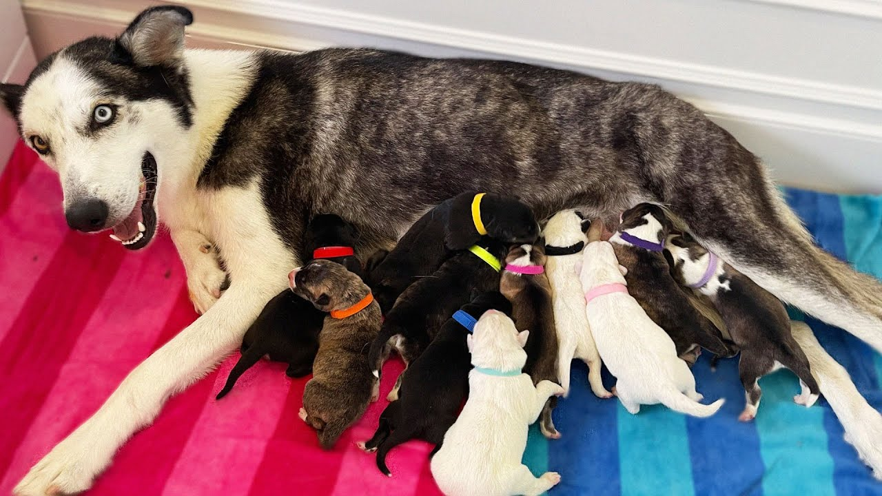 Joey Graceffa: My Pregnant Husky Gave Birth to More Puppies While I Was Gone...