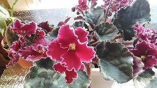 Обзор цветущих фиалок.Overview Of Flowering Violets.