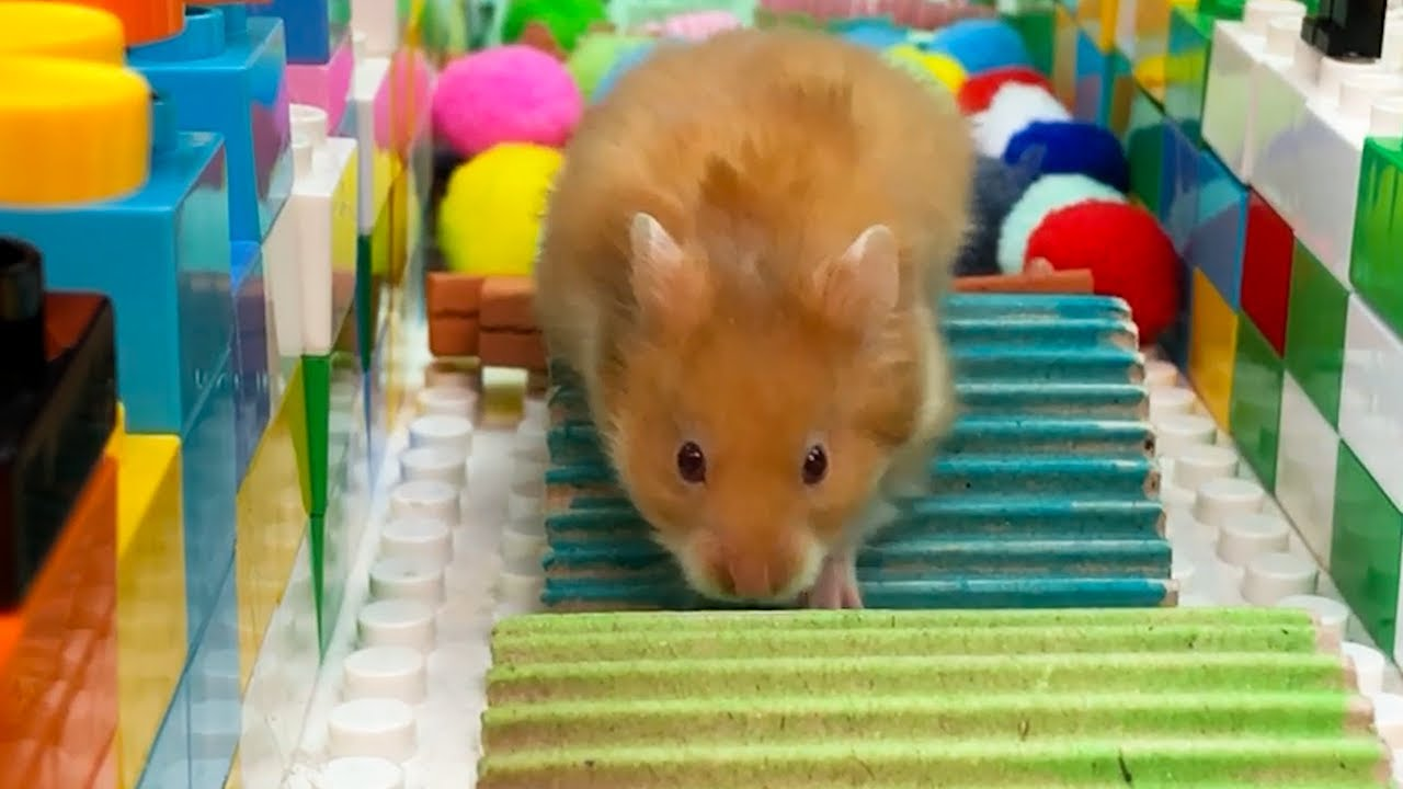 Hamsters Running in Lego RACE !! Hamster Obstacle Course DIY 🐹😻
