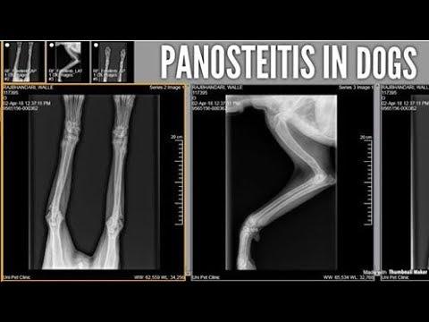 Bone Inflammation PANOSTEITIS in Dogs
