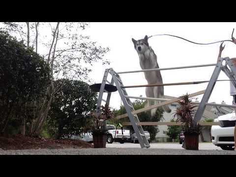 Best jumping dog you will ever find!