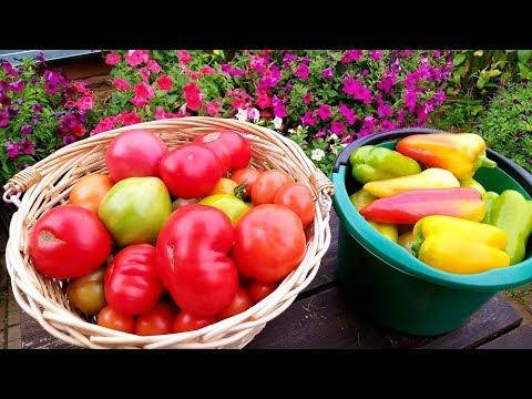 Обзор огорода  30 июня/ Собираем урожай и чемоданы