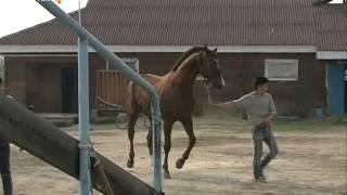 Впервые якутские лошади примут участие в скачках на Кубок губернатора Приморского края