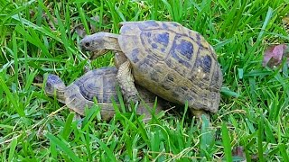 how do turtles mate video, turtles mating noise #turtles