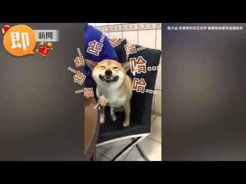ETtoday寵物雲 笑什麼沒看過狗打噴嚏喔 柴柴醞釀好久看得我鼻子都癢了 Facebook - YouTube