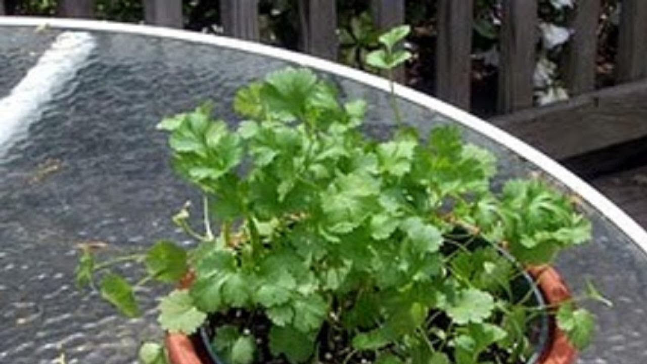 how to grow cilantro or coriander leaves dhaniya video by bhavna