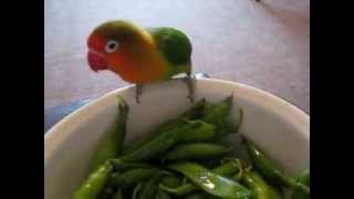 Попугай жрет горох/ Parrot eats peas