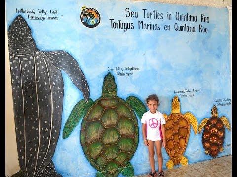 Nesting Sea Turtles: Akumal, Mexico