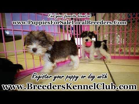 MINIATURE SCHNAUZER PUPPIES FOR SALE LOCAL BREEDERS