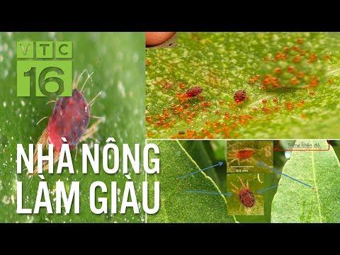 Bí kíp diệt nhện đỏ hại cây bưởi   VTC16