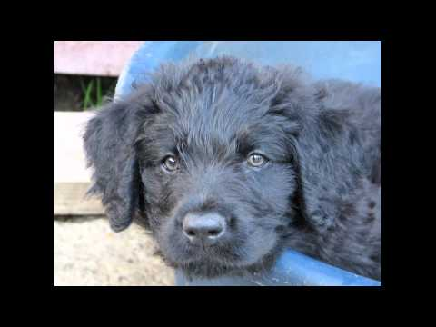 Фландрский бувье/Bouvier des Flandres (порода собак HD slide show)!