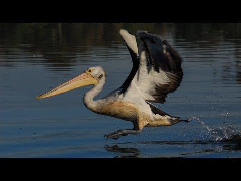 Plight Of The Pelican