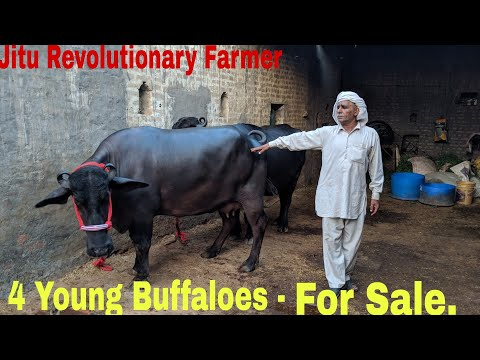 FOR SALE - 4 Young MURRAH Buffaloes- @ Panipat, Haryana  All are