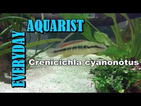 Super red monkey and crenicichla red pike cichlid | FunnyDog TV
