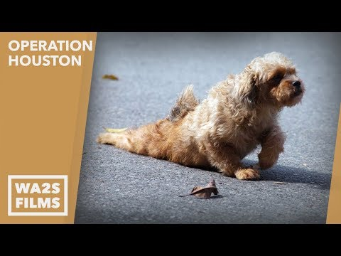 Caught On Camera!!! Stray Dog With Crushed Pelvis Gets help - Hope Dogs Like My DoDo