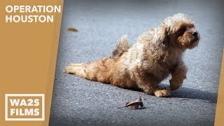 Caught On Camera!!! Stray Dog With Crushed Pelvis Gets help - Howl & Hope For DoDo Dogs