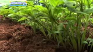 15 06 15 grain amaranthus importance and cultivation dr k s niranjanmurthy