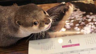 カワウソさくら 2019年カレンダーが届いたよ otter and 2019 calendar
