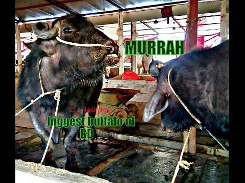 360 | Murrah
