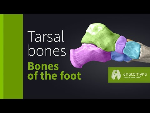 Tarsal bones (ossa tarsi) - Bones of the foot