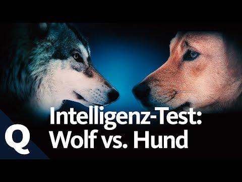 Experiment: IQ-Test Mit Wolf Und Hund   Quarks