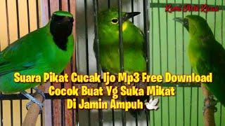 Free Download Suara Pikat Cucak Ijo Mp3 Terbaru 2021 Di Jamin Ampuh Buat Mikat Di Alam Bebas