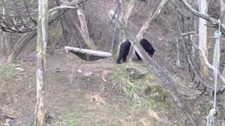 В зоопарке Вены - малайский медведь